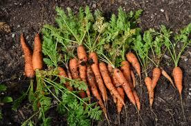 morcovul cultivare