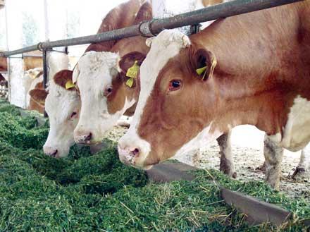furajarea eficienta a vacilor de lapte