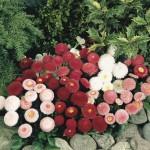 Paralute flori de gradina rosii si roz bellis perennis