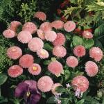 Paralute roz plantare