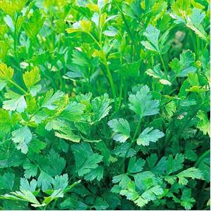 Patrunjelul, Petroselinum crispum, soiuri de frunza