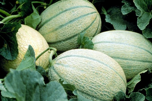 cultura de pepene galben, soiuri de pepene galben