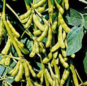cultura de soia, elemente tehnologice