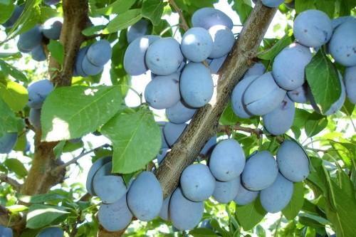 prune-stanley cultura prunului