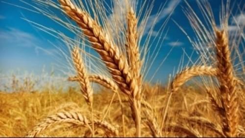 soiuri de grau rezistente la seceta