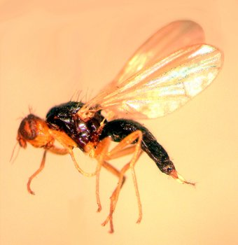 Musca morcovului