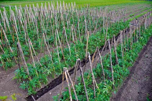 Palisarea tomatelor