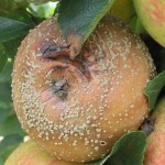 Podosphera leucotricha fainarea marului pe fruct semne ale bolii