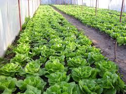 cultura de salata verde
