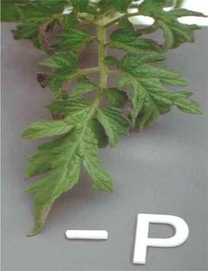 frunze de tomate 3