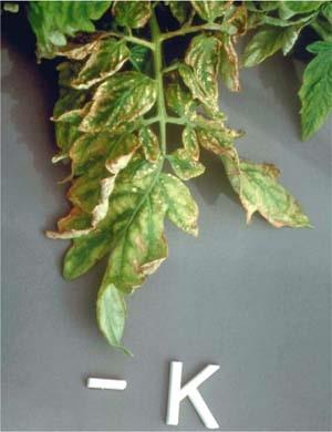 frunze de tomate 4