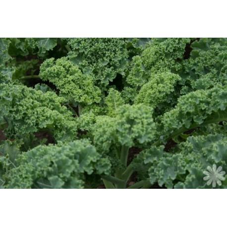 kale-dwarf-green-curled