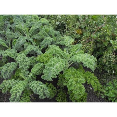 kale-lerchenzungen