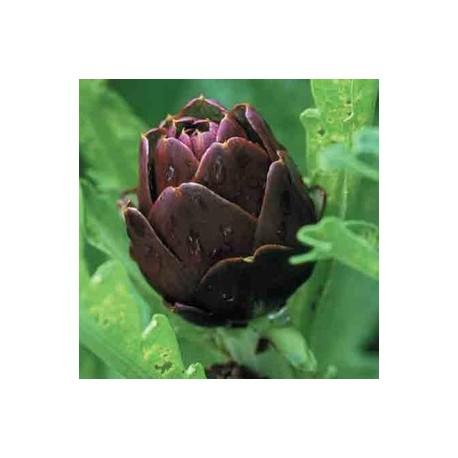 violetta-chioggia